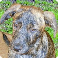 Adopt A Pet :: Lindy sweety - Sacramento, CA