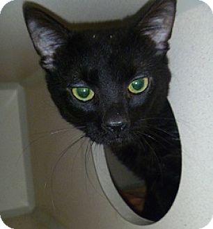 Domestic Shorthair Cat for adoption in Hamburg, New York - Rascal