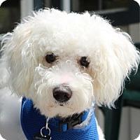 Adopt A Pet :: Cody - La Costa, CA