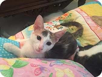 Domestic Shorthair Kitten for adoption in Flower Mound, Texas - Miranda