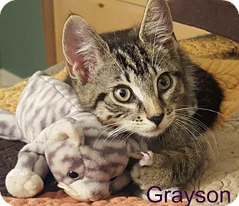 Domestic Shorthair Kitten for adoption in Wantagh, New York - Grayson