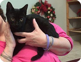 Domestic Shorthair Kitten for adoption in Sugar Land, Texas - Sweetie