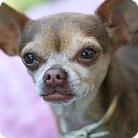 Adopt A Pet :: Raquel ~ One of a kind! - Studio City, CA