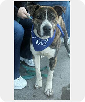 Mountain Cur Mix Dog for adoption in Manchester, Connecticut - Nash IN ct