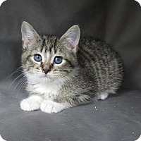 Adopt A Pet :: We have kittens! (male) - Fairfax, VA