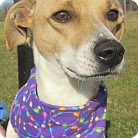 Whippet Mix Dog for adoption in Menomonie, Wisconsin - Abby