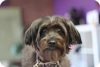 Standard Schnauzer/Poodle (Miniature) Mix Dog for adoption in Fresno, California - Cole Hill