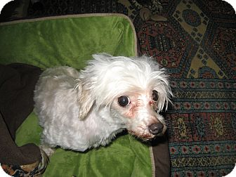 Maltese Dog for adoption in South Amboy, New Jersey - Brittany