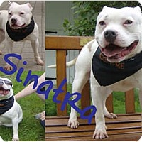 Adopt A Pet :: Sinatra - Toledo, OH
