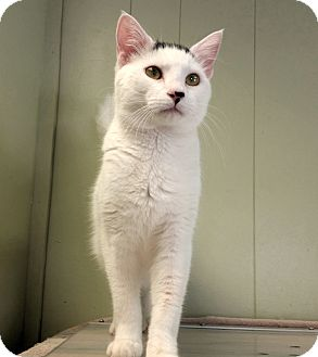 Domestic Shorthair Cat for adoption in Indianola, Iowa - Snow