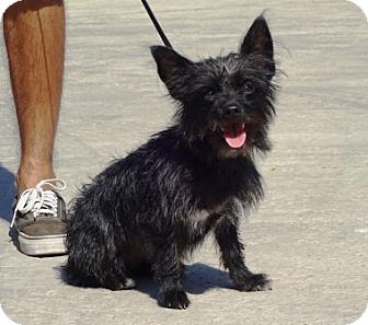 Terrier (Unknown Type, Small)/Yorkie, Yorkshire Terrier Mix Dog for adoption in Lathrop, California - Shadow