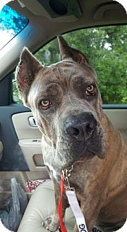 Mastiff Mix Dog for adoption in Lehigh Acres, Florida - Eve