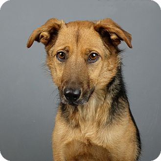 Shepherd (Unknown Type) Mix Dog for adoption in Columbia, Illinois - Bear