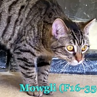 Adopt A Pet :: Mowgli - Tiffin, OH