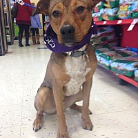 Adopt A Pet :: Lentil - East Rockaway, NY