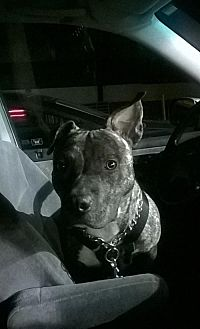 American Pit Bull Terrier Dog for adoption in Fulton, Missouri - Panzer - Pennsylvania