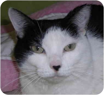 Domestic Shorthair Cat for adoption in Chicago, Illinois - Canada