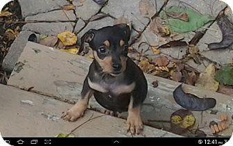 Chihuahua Mix Puppy for adoption in Hilliard, Ohio - Dalton