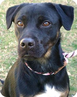 Labrador Retriever/Border Collie Mix Dog for adoption in Red Bluff, California - Ruby Doo