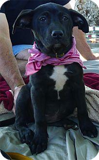 Labrador Retriever/Border Collie Mix Puppy for adoption in Sacramento, California - Samantha sweetheart