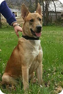 German Shepherd Dog/Belgian Malinois Mix Dog for adoption in Nashville, Tennessee - Roscoe