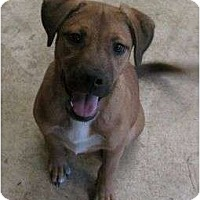 German Shepherd Dog/Boxer Mix Dog for adoption in Snellville, Georgia - Whiner
