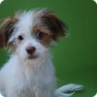 Adopt A Pet :: Patches - New Milford, CT