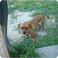 Adopt A Pet :: Ringo - Fresno, CA