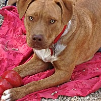 American Staffordshire Terrier/Labrador Retriever Mix Dog for adoption in Los Angeles, California - Adorable Chesney-VIDEO