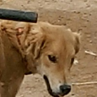Italian Greyhound/Golden Retriever Mix Dog for adoption in Tonopah, Arizona - J.R,