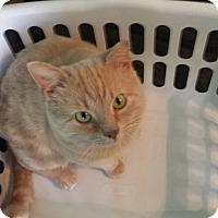 Adopt A Pet :: LITTLE CAT - Madison, AL