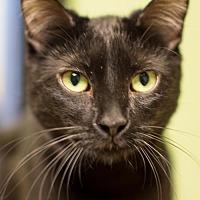 Adopt A Pet :: Onyx - Auburn, CA