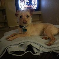 Adopt A Pet :: Bandon - Gilbert, AZ