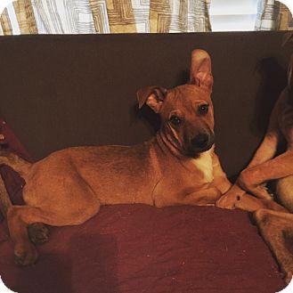 Shepherd (Unknown Type) Mix Puppy for adoption in oklahoma city, Oklahoma - Isaac