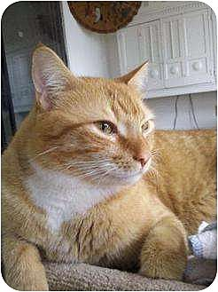 Domestic Shorthair Cat for adoption in Pensacola, Florida - Chico