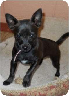 Chihuahua Puppy for adoption in dewey, Arizona - Opal