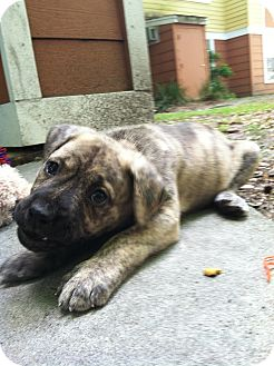 Shepherd (Unknown Type)/Labrador Retriever Mix Puppy for adoption in Gainesville, Florida - Bae