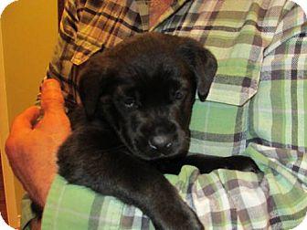 Labrador Retriever Puppy for adoption in batlett, Illinois - Hunter