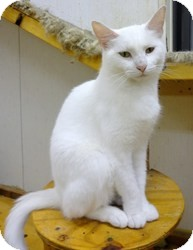 Domestic Shorthair Cat for adoption in Stuart, Virginia - Veronica