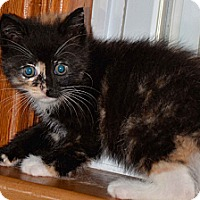 Adopt A Pet :: Ariel - Troy, OH