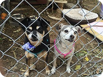 Chihuahua/Miniature Pinscher Mix Dog for adoption in Chatsworth, California - ANIKAN