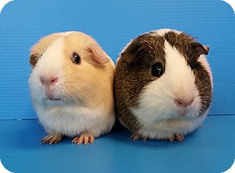 Guinea Pig for adoption in Lewisville, Texas - Abby & Breanne