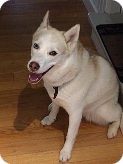 Husky Dog for adoption in St. Catharines, Ontario - Ki-oosh