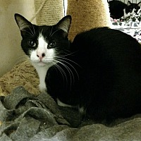 Domestic Mediumhair Cat for adoption in Saginaw, Michigan - Gerri