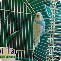 Adopt A Pet :: Mai Tai - Hamilton, ON