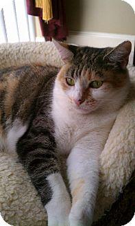 Calico Cat for adoption in West Palm Beach, Florida - Claudia