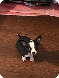 Chihuahua Puppy for adoption in Wyoming, Michigan - Gatsby
