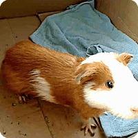 Adopt A Pet :: *Urgent* Go Bert - Fullerton, CA