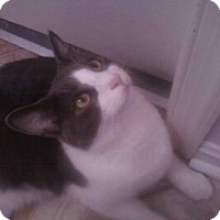 Domestic Shorthair Cat for adoption in Carlisle, Pennsylvania - Taboo