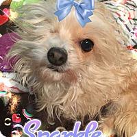 Adopt A Pet :: Sparkle - Los Angeles, CA